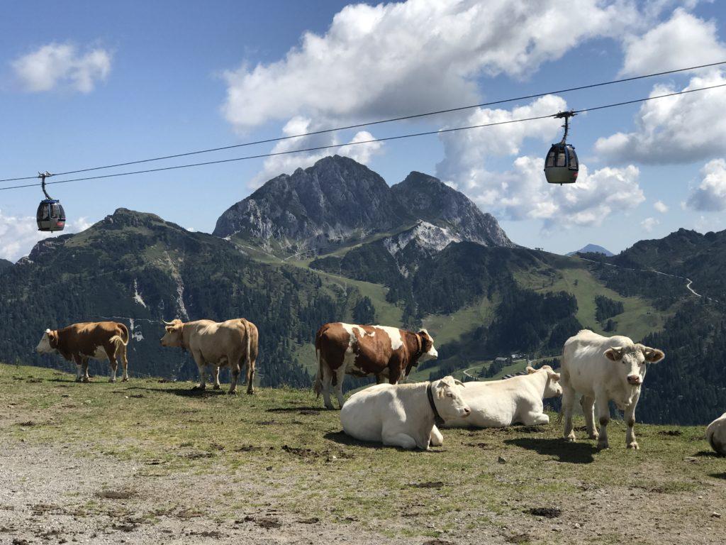 Krówki w górach